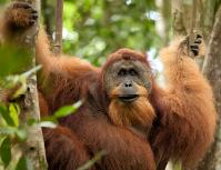 orangutan in the forest