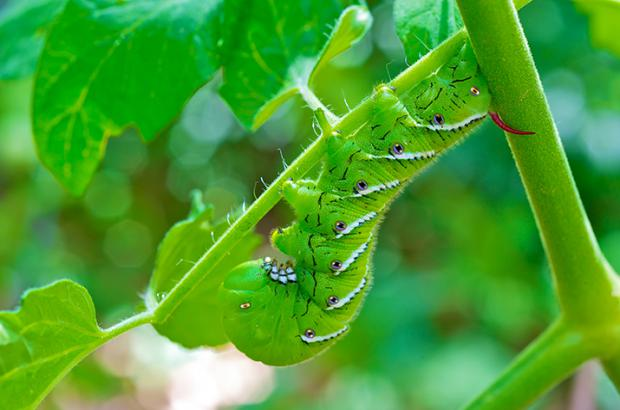 Organic pest controls for your vegetable garden