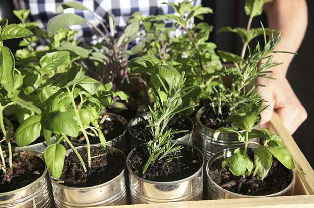 fresh herbs primer co op stronger together. Black Bedroom Furniture Sets. Home Design Ideas