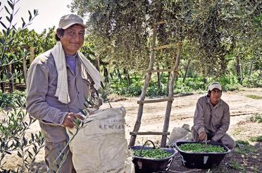 Photo of La Riojana olive oil producers in an olive tree grove