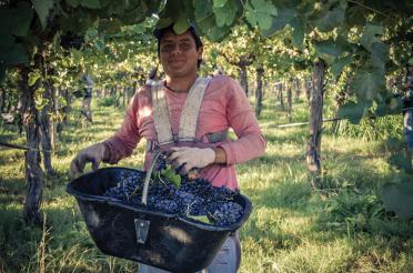 A woman from the La Riojana cooperative in Argentina is collecting grapes in a large basket