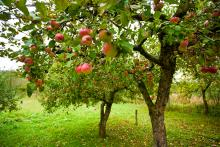 Planning a Small Home Orchard
