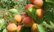 Dare to Eat an Organic Peach